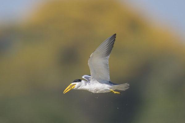 Großschnabel-Seeschwalbe (Phaetusa simplex) - 13