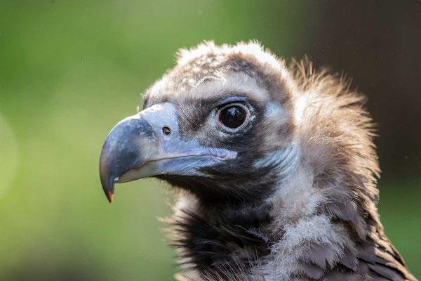 Mönchsgeier (Aegypius monachus) - Cinereous vulture - 2