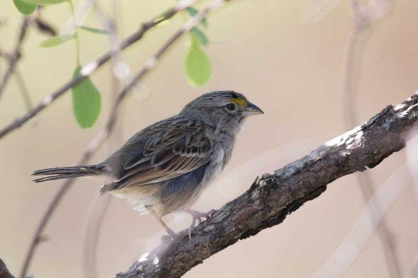 Wachtelammer (Ammodramus humeralis) - Grassland sparrow - 2
