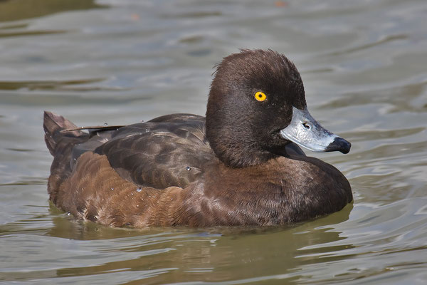 Reiherente,  Aythya fuligula, Tufted Duck - 13