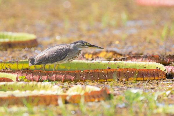 Mangrovereiher (Butorides striata) - Striated heron - 3