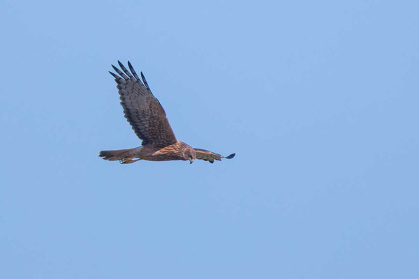 Sumpfweihe, Swamp Harrier, Circus approximans - 2