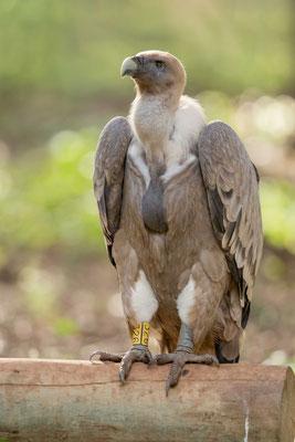Gänsegeier (Gyps fulvus) - Griffon Vulture - 2