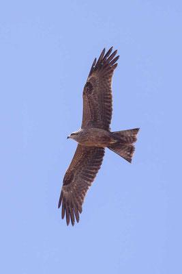 Schwarzmilan,  Black kite, Milvus migrans - 8