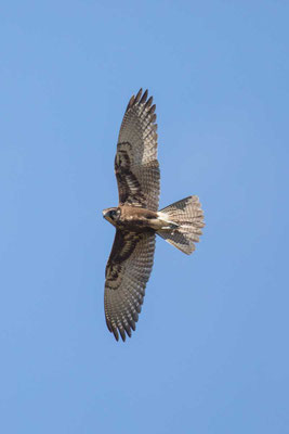 Habichtfalke, Brown falcon, Falco berigora - 2