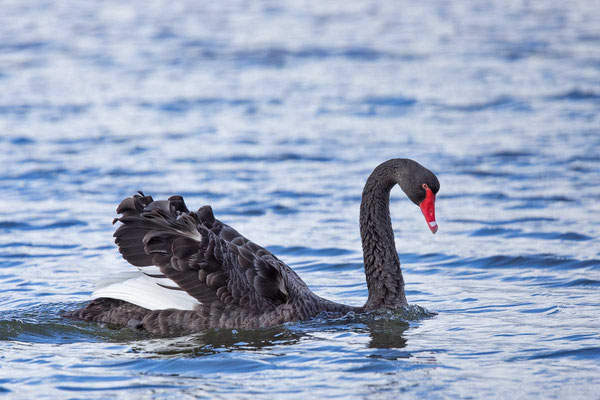 Trauerschwan (Cygnus atratus) - Black swan - 14