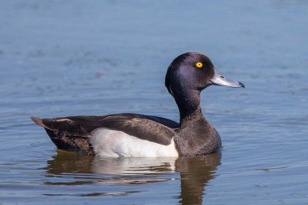 Reiherente,  Aythya fuligula, Tufted Duck - 12