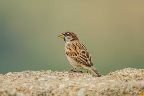 Haussperling (Passer domesticus) – House sparrow - 8
