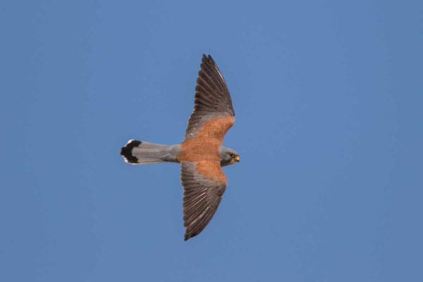 Rötelfalke,  Lesser kestrel, Falco naumanni - 3
