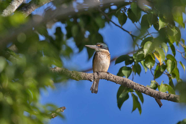 Götzenliest (Todiramphus sanctus) - Sacred kingfisher - 2