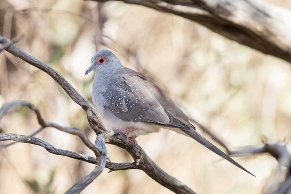 Diamanttäubchen (Geopelia cuneata) - Diamond dove - 1