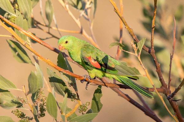 Rotflügelsittich, Red-winged parrot, Aprosmictus erythropterus - 2