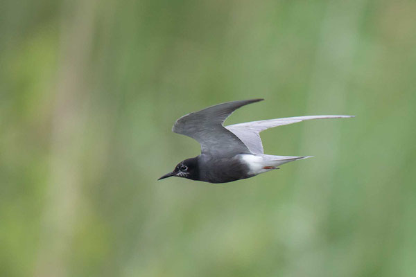 Trauerseeschwalbe (Chlidonias niger) - 1