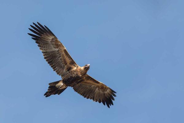 Keilschwanzadler, Wedge-tailed Eagle, Aquila audax - 6