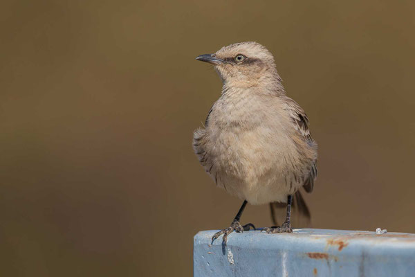 Camposspottdrossel (Mimus saturninus) - Chalk-browed Mockingbird - 6
