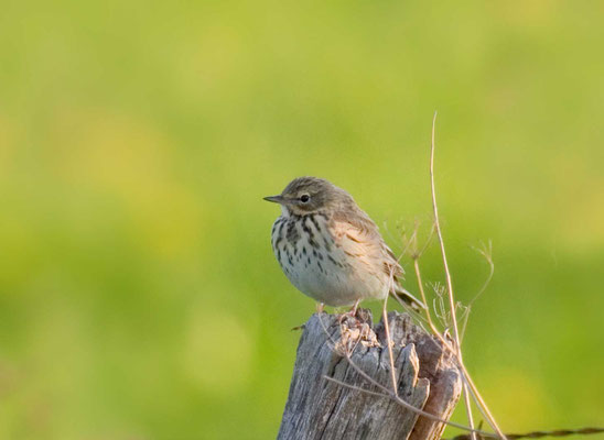 Wiesenpieper (Anthus pratensis) - Meadow Pipit -