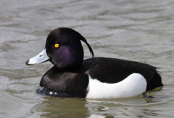 Reiherente,  Aythya fuligula, Tufted Duck - 15