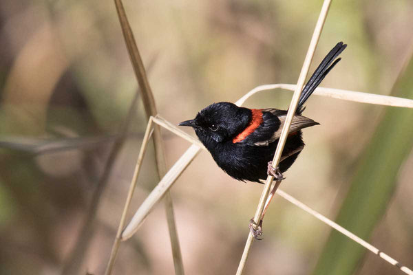Rotrücken-Staffelschwanz, Red-backed fairywren, Malurus melanocephalus - 3