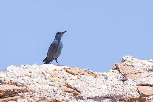 Blaumerle (Monticola solitarius) - 3