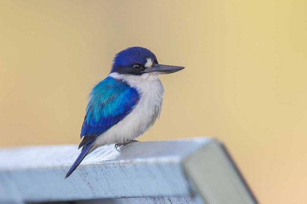 Spiegelliest (Todiramphus macleayii)  - Forest kingfisher - 4