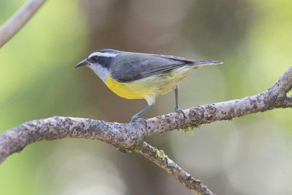 Zuckervogel (Coereba flaveola) - Bananaquit - 3