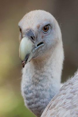 Gänsegeier (Gyps fulvus) - Griffon Vulture - 9