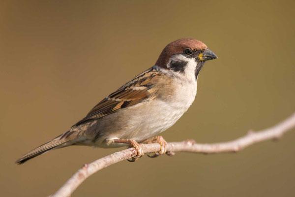 Feldsperling (Passer montanus) - Tree Sparrow - 2