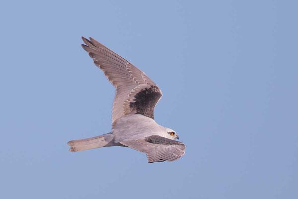 Australischer Gleitaar, Black-shouldered Kite, Elanus axillaris - 5
