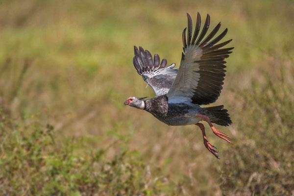Halsband-Wehrvogel (Chauna torquata) - Southern Screamer - 1
