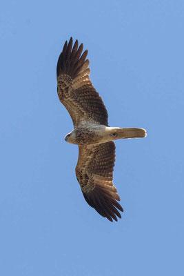 Keilschwanzweih, Whistling kite, Haliastur sphenurus - 3