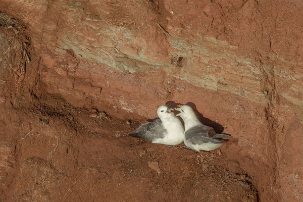 Eissturmvogel (Fulmarus glacialis) - 2