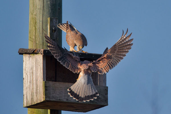 Männlicher Turmfalke (Falco tinnunculus) - 5