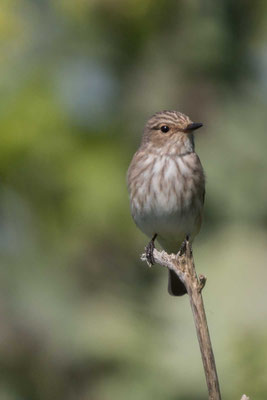Grauschnäpper (Muscicapa striata) - Spotted Flycatcher - 2