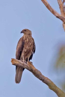 Keilschwanzweih, Whistling kite, Haliastur sphenurus - 2