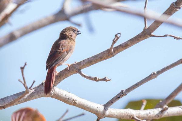 Sonnenastrild, Crimson finch, Neochmia phaeton - 2