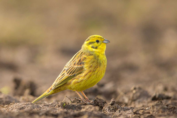 Goldammer (Emberiza citrinella) - Yellowhammer - 6