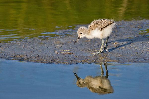 Säbelschnäbler (Recurvirostra avosetta)-cc-4