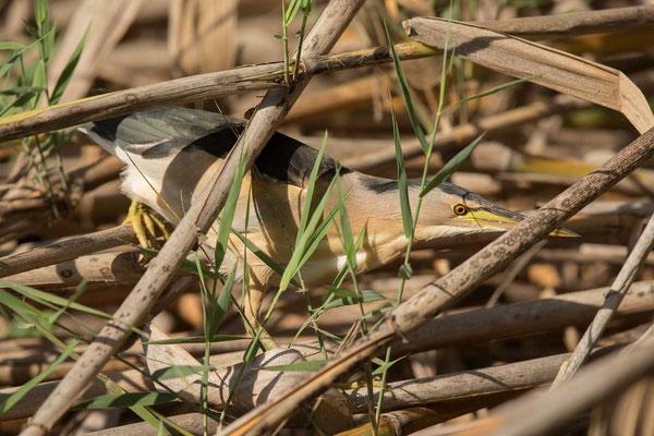 Zwergdommel (Ixobrychus minutus) - Little bittern - 4