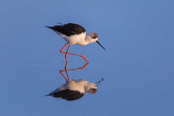Weißgesicht-Stelzenläufer, white-headed stilt, Himantopus leucocephalus - 2