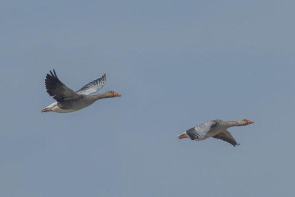 Graugans, Anser anser, Greylag goose - 7