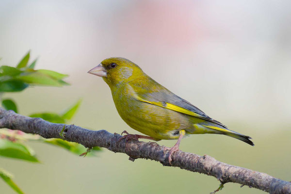 Grünfink (Carduelis chloris) - European greenfinch - 6