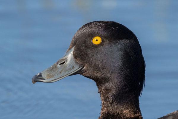 Reiherente,  Aythya fuligula, Tufted Duck -  6