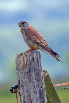 Männlicher Turmfalke (Falco tinnunculus) - 8