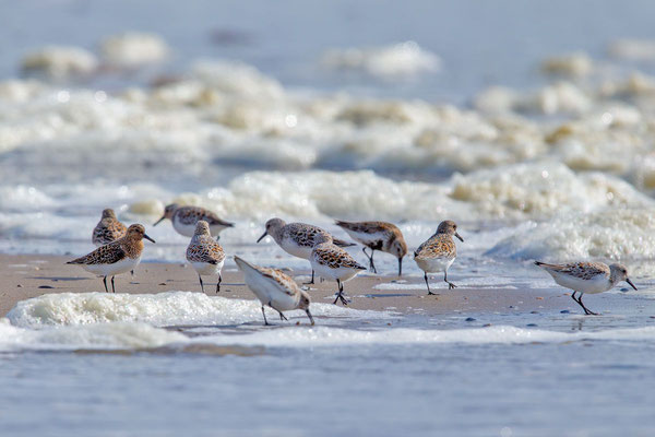 Sanderling (Calidris alba) - 3