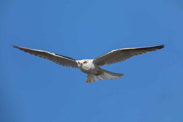Australischer Gleitaar, Black-shouldered Kite, Elanus axillaris - 4