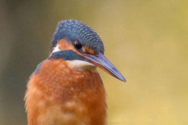 Eisvogel (Alcedo atthis) - 9