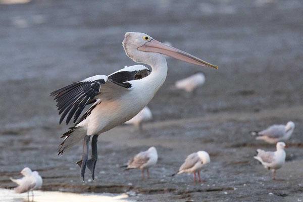 Brillenpelikan (Pelecanus conspicillatus) - Australian pelican - 7