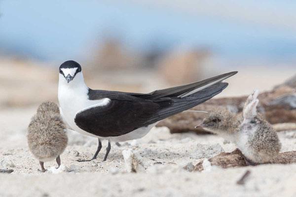 Rußseeschwalbe (Onychoprion fuscatus) - Sooty tern - 9