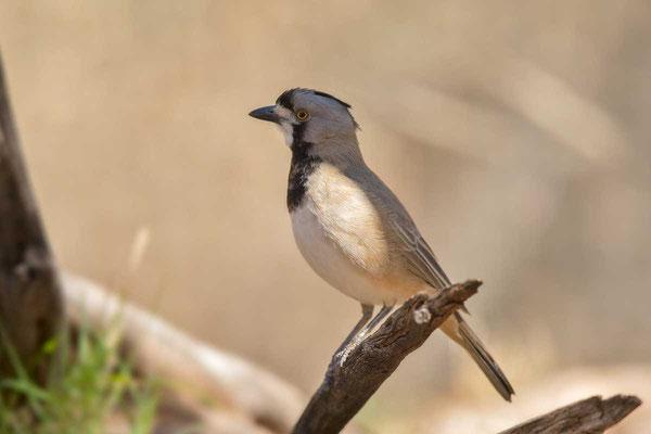 Haubendickkopf, Crested bellbird, Oreoica gutturalis - 1