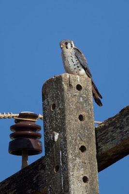 Buntfalke (Falco sparverius) - 1